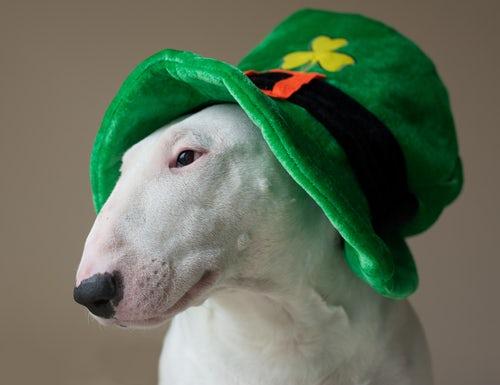 Dog w Leprechaun hat