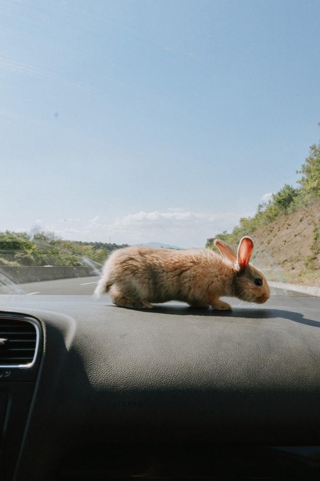 rabbit in a car