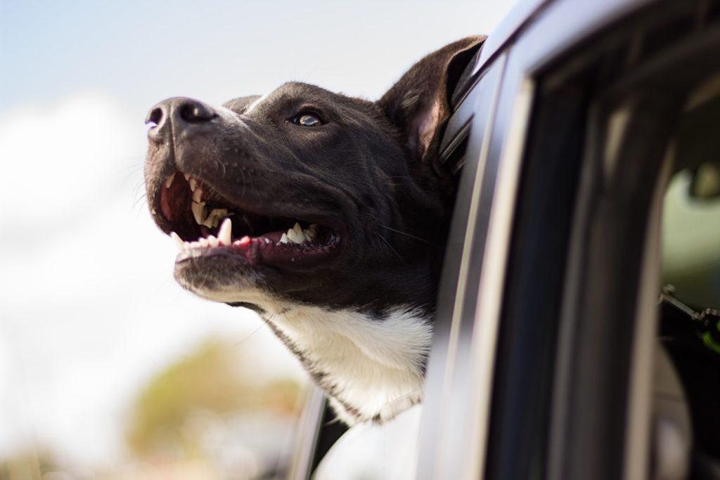dog's head car window