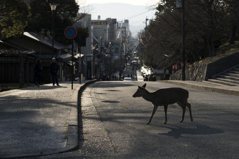 A Sika Deer crossing the road in Japan.